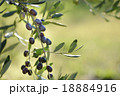 Olive tree with fruits 18884916