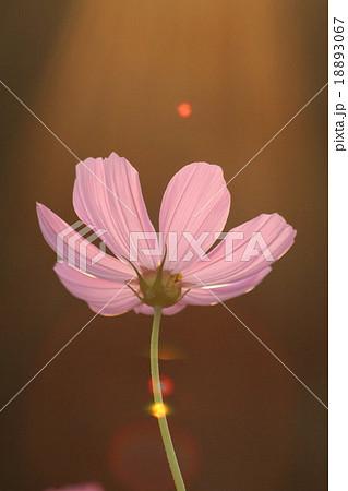 妖精の時間‥と‥空間。 コスモス (センセーション) その1. cosmos flower 18893067