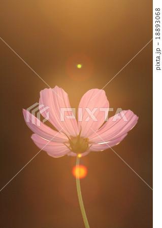 妖精の時間‥と‥空間。 コスモス (センセーション) その2. cosmos flower 18893068