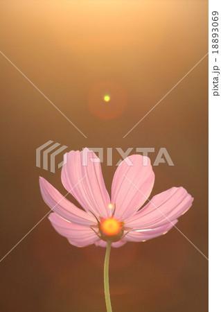妖精の時間‥と‥空間。 コスモス (センセーション) その3. cosmos flower 18893069