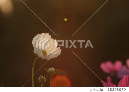 妖精の時間‥と‥空間。 コスモス (センセーション) その4. cosmos flower 18893070