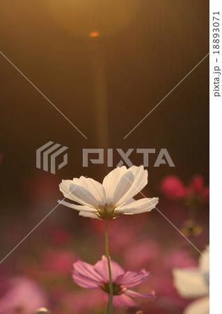妖精の時間‥と‥空間。 コスモス (センセーション) その5. cosmos flower 18893071
