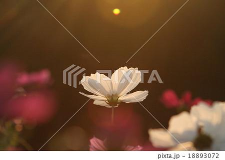 妖精の時間‥と‥空間。 コスモス (センセーション) その6. cosmos flower 18893072