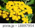磯菊 18897954