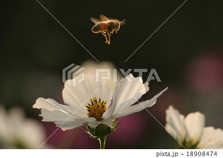 みつばち と コスモス (センセーション) その1. cosmos flower 18908474