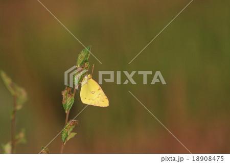モンキチョウ その1。 Butterfly 18908475