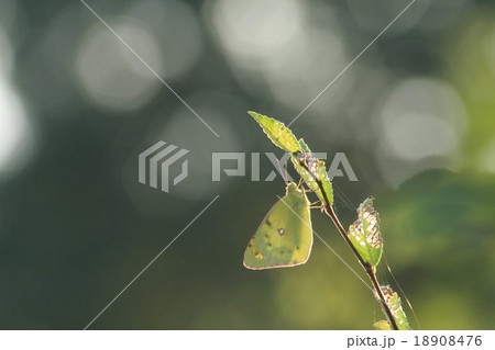 モンキチョウ その2。 Butterfly 18908476