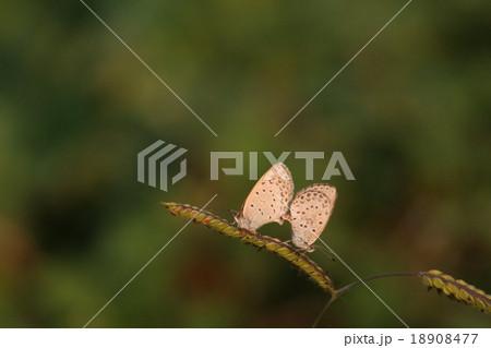 シジミチョウ その1。 Butterfly 18908477
