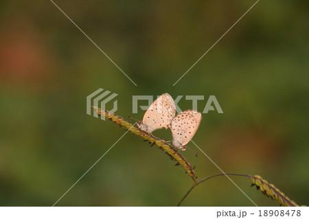 シジミチョウ その2。 Butterfly 18908478