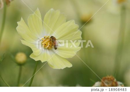 みつばち と コスモス (イエローキャンパス). Honey bee and cosmos 18908483