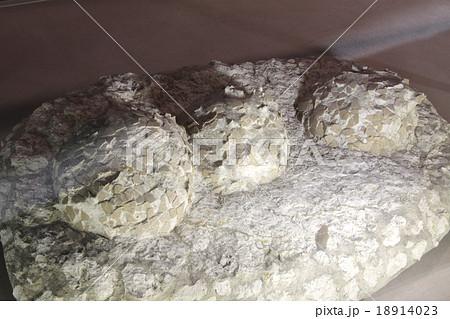 恐竜の卵 / ヒプセロサウルスの卵化石(原物) / 白亜紀後期 18914023
