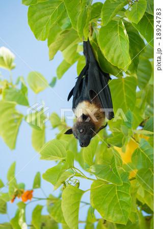 Indian flying fox, Greater Indian fruit bat
