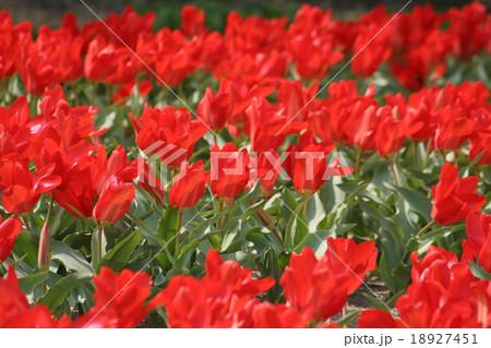 レッドエンペラー。 Tulip 18927451