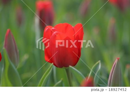 レフェーバースメモリー。 Tulip 18927452