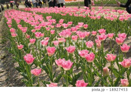 ファンシーフリル。 Tulip 18927453