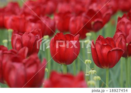 アルカディア。 Tulip 18927454