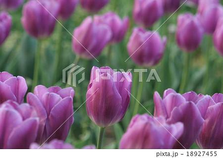 パープルフラッグ。 Tulip 18927455