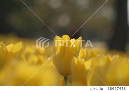 イエロープリシマ。 Tulip 18927458