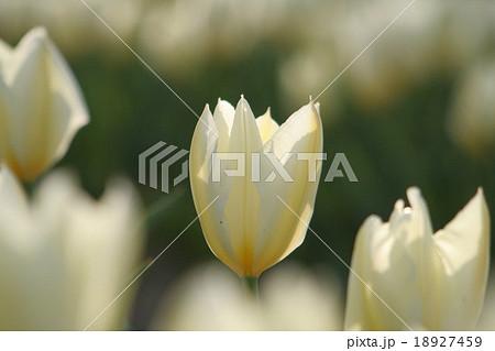 プリシマ。 Tulip 18927459