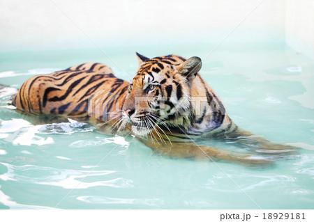 Tiger is lying in poolの写真素材 [18929181] - PIXTA