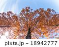 秋空とメタセコイアの木 18942777