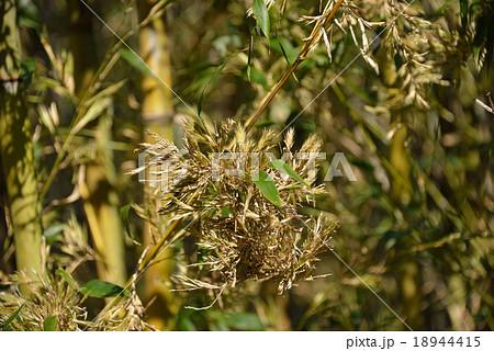 真竹の花 18944415