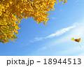 イチョウの黄葉 18944513