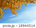 イチョウの黄葉 18944514