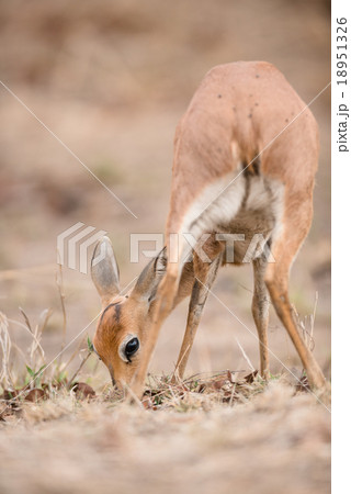 Female Steenbok (Raphicerus campestris)