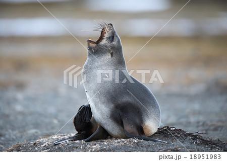 Antarctic fur seal, South Georgia, Antarctica