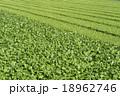 蕪とナズナ 18962746