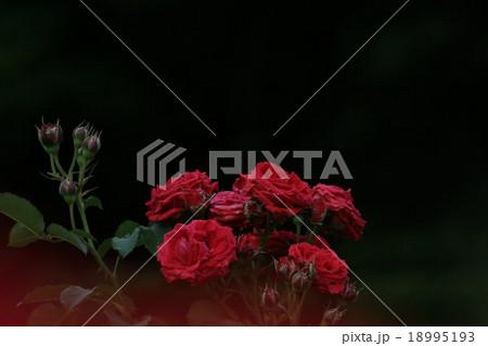 ノルディア (バラ)。 Nordia, Rose 18995193