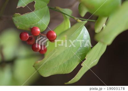自然 植物 サルトリイバラ、根はサポニンなどを含み腫物などに効果のある生薬になるそうです 19003178