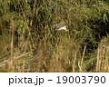 オオタカ 猛禽類 鷹の写真 19003790