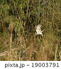 オオタカ 猛禽類 鷹の写真 19003791