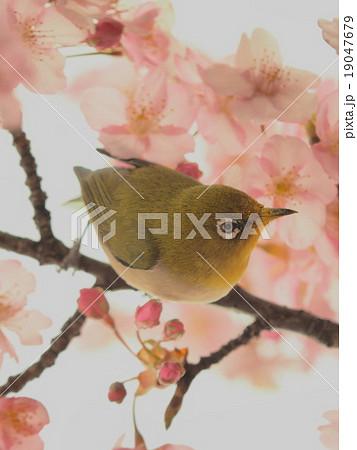 春 目白と桜 19047679
