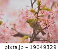 目白と桜 19049329