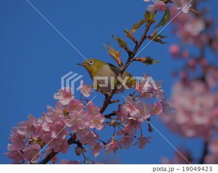 青空 目白と桜 19049423