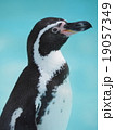 よこ顏 フンボルトペンギン 19057349