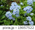 The blue flowers of forget-me (Myosotis)  19057522