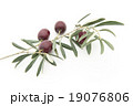 オリーブの枝と果実:Olives with brunches and leaves 19076806