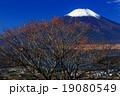 高指山のマユミの実と富士山 19080549