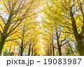 【東京都】光が丘公園のイチョウ並木 19083987