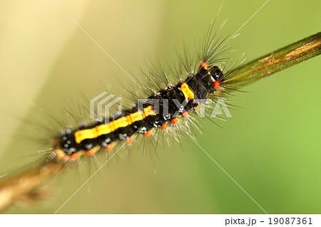生き物 昆虫 ゴマフリドクガ、幼虫です。名前は成虫の翅が黄色に胡麻を振ったような褐色斑点があるので 19087361