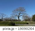 葉っぱを落とし春の準備に入ったキリの大木 19090264
