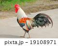 矮鶏 黒色 黒の写真 19108971