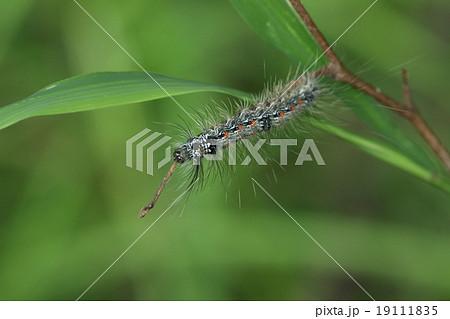 生き物 昆虫 ヨツボシホソバ、毛むくじゃらの幼虫。触るとかぶれます。餌は木についた地衣類だそうです 19111835