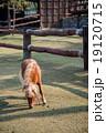 Dwarf Horse eating grass 19120715