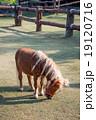 Dwarf Horse eating grass 19120716