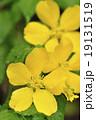山吹 バラ科 山野草の写真 19131519